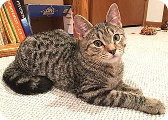 Domestic Shorthair Kitten for adoption in Kirkland, Washington - Apollo and Athena