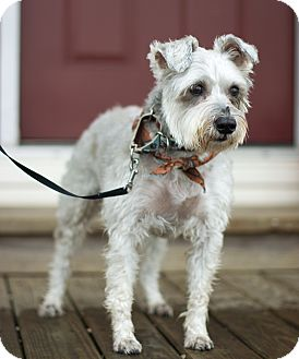 Schnauzer (Miniature) Mix Dog for adoption in Millersville, Maryland - Charlie NY