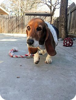 Basset Hound Mix Dog for adoption in Dublin, California - Miss Daisy