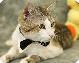 Domestic Shorthair Cat for adoption in Enka, North Carolina - Tenny