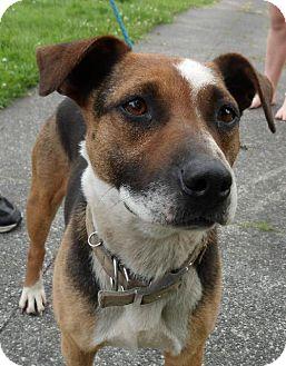Beagle/Cattle Dog Mix Dog for adoption in Tacoma, Washington - Lady