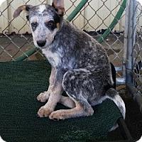 Adopt A Pet :: BANDIT - Gustine, CA
