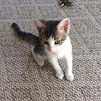 Adopt A Pet :: Bowie - Prescott, AZ