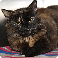 Domestic Mediumhair Cat for adoption in Marietta, Ohio - Cocoa (Spayed/Combo Tested)