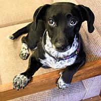Adopt A Pet :: Tuxedo - Las Vegas, NV