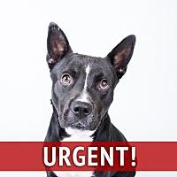 Adopt A Pet :: Paxton - Decatur, GA