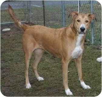 Collie Mix Dog for adoption in Hamilton, Ohio - Jasmine