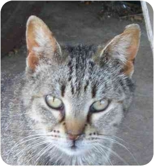 Domestic Shorthair Cat for adoption in Lexington, Missouri - Barnaby