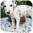 Photo 2 - Dalmatian Puppy for adoption in League City, Texas - Fletcher