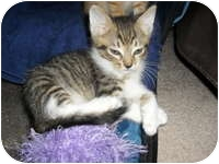 Domestic Shorthair Kitten for adoption in Tampa, Florida - Oliver