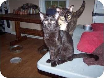 Domestic Shorthair Kitten for adoption in Chester, Virginia - Roscoe