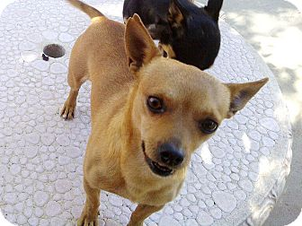 Chihuahua/Miniature Pinscher Mix Puppy for adoption in Woodland Hills, California - Beans