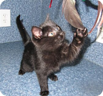 American Shorthair Kitten for adoption in Harrisburg, North Carolina - Sonny