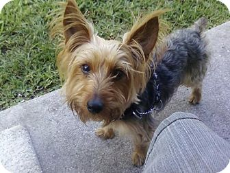 Yorkie, Yorkshire Terrier Dog for adoption in Naples, Florida - Kode
