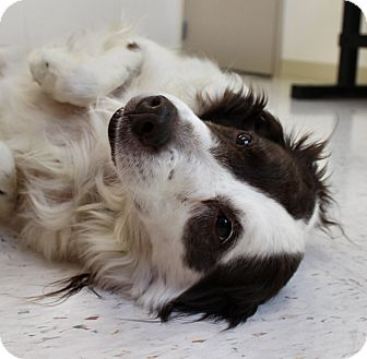 Border Collie Mix Dog for adoption in Chambersburg, Pennsylvania - Gypsy