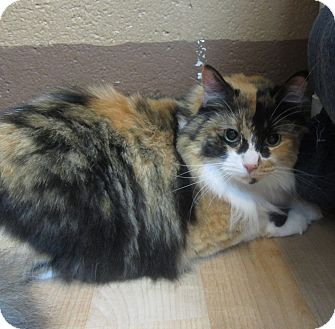 Domestic Longhair Cat for adoption in Wheaton, Illinois - Big Red