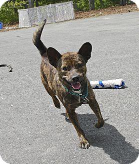 Australian Kelpie Mix Dog for adoption in Gloucester, Massachusetts - Chenzy