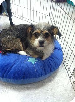 Terrier (Unknown Type, Small) Mix Dog for adoption in Longview, Texas - Toto