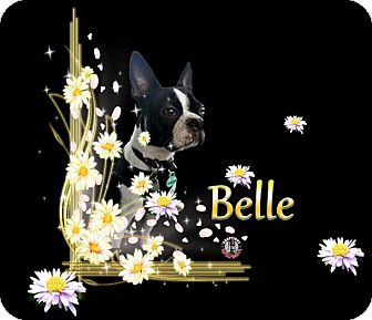 Boston Terrier Dog for adoption in Berthierville / Sorel, Quebec - Belle