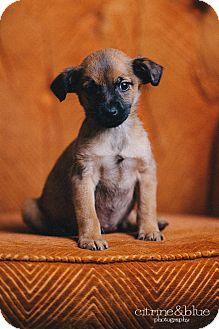 Dachshund/Fox Terrier (Wirehaired) Mix Puppy for adoption in Portland, Oregon - Gilligan