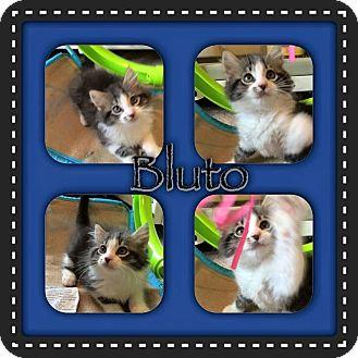 Domestic Longhair Kitten for adoption in Newnan, Georgia - Bluto