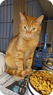 Domestic Shorthair Cat for adoption in Glen Mills, Pennsylvania - Squeaky