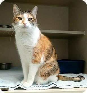 Domestic Shorthair Cat for adoption in Denver, Colorado - Reeses