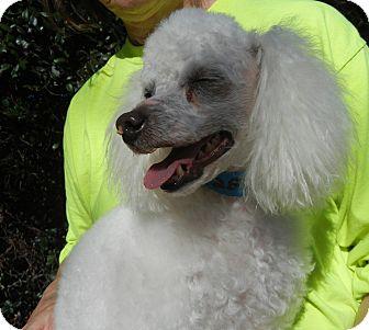 Poodle (Miniature) Mix Dog for adoption in Houston, Texas - Friendswood