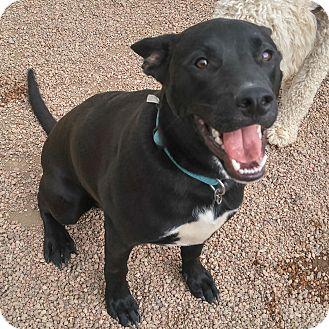 Labrador Retriever/Shar Pei Mix Dog for adoption in Colorado Springs, Colorado - Jennings