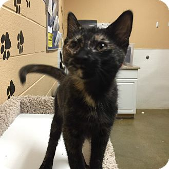 Domestic Shorthair Kitten for adoption in Smithfield, North Carolina - Ruby