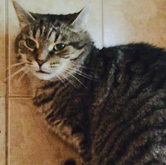 Domestic Shorthair Cat for adoption in Montreal, Quebec - Oliver