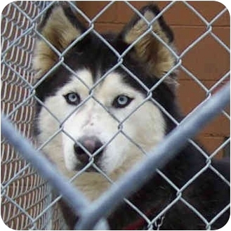 "Siberian Husky Dog for adoption in Various Locations, Indiana - ""Oreo is Urgent"""