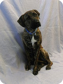 Labrador Retriever/Pit Bull Terrier Mix Dog for adoption in Chino Valley, Arizona - Zander
