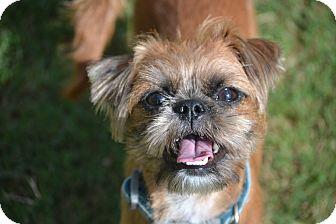 Brussels Griffon/Shih Tzu Mix Dog for adoption in Allentown, Virginia - Joy