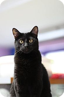 Domestic Shorthair Cat for adoption in Fresno, California - Purr Baby