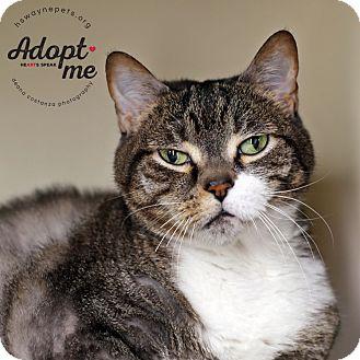 Domestic Shorthair Cat for adoption in Lyons, New York - Tifa