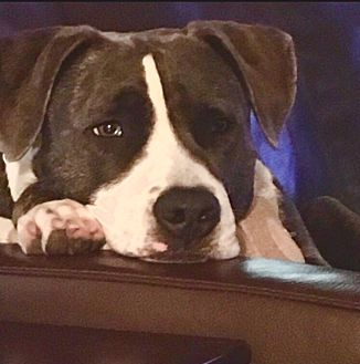 American Staffordshire Terrier Dog for adoption in Palisades Park, New Jersey - Tessie