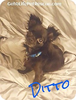 Chihuahua Dog for adoption in Wellington, Florida - Ditto