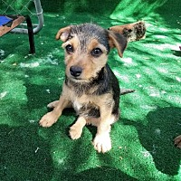 Adopt A Pet :: Chapman - San Antonio, TX