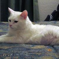 Adopt A Pet :: Pinky - Chandler, AZ