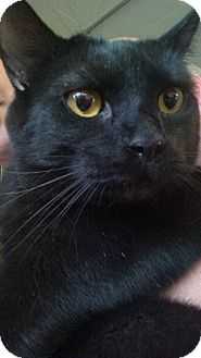 Domestic Shorthair Cat for adoption in North Augusta, South Carolina - Gorgonzola & Gazpacho