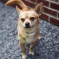 Adopt A Pet :: Biscuit - Kirkland, QC