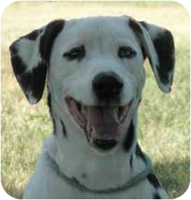 Dalmatian Dog for adoption in Turlock, California - Domino