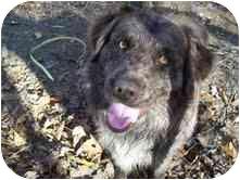 Australian Shepherd Mix Dog for adoption in Portland, Maine - Bob & Doodles