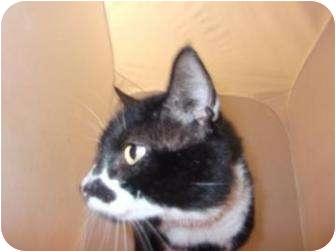 Domestic Shorthair Cat for adoption in North Charleston, South Carolina - Scruffy