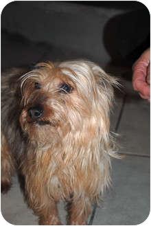 Yorkie, Yorkshire Terrier Dog for adoption in cedar grove, Indiana - Sugar