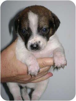 Dachshund/Miniature Pinscher Mix Puppy for adoption in Arlington, Texas - Bernard
