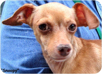 Chihuahua Mix Dog for adoption in Key Largo, Florida - Snoopy