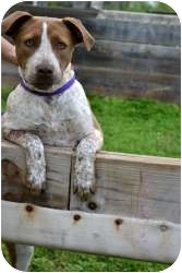 German Shorthaired Pointer/American Pit Bull Terrier Mix Dog for adoption in Stillwater, Oklahoma - Rylee
