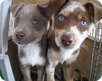 Catahoula Leopard Dog Mix Puppy for adoption in WYTHEVILLE, Virginia - Coco and Mocha